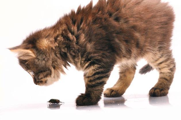 昆虫を見てる猫