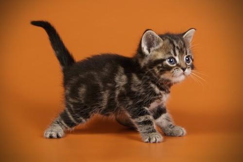 横を向いて歩くアメリカンショートヘアの子猫