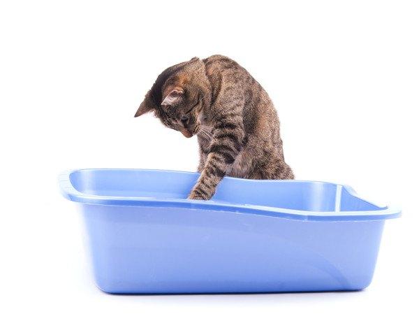 猫トイレの中に手を伸ばす猫
