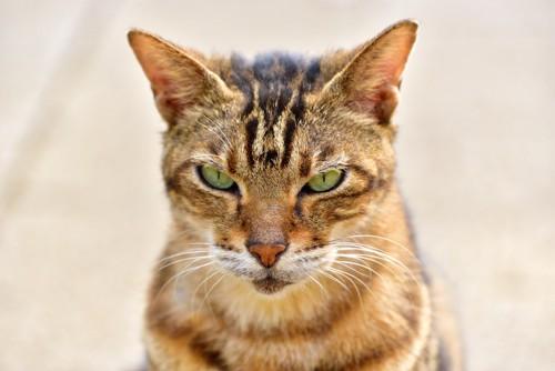 こちらを怒って睨む猫