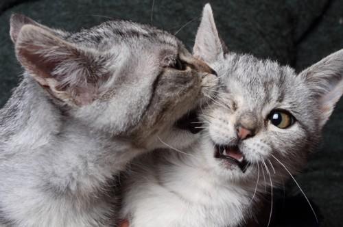甘噛みをする子猫
