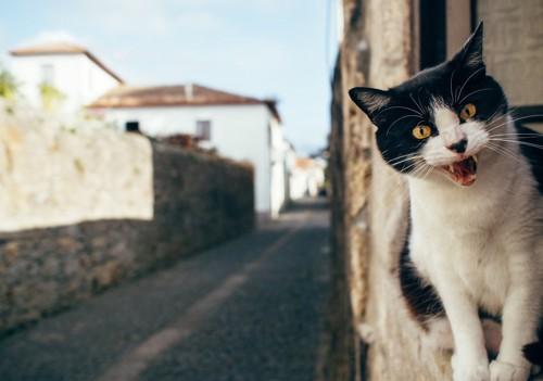 窓辺で鳴く猫