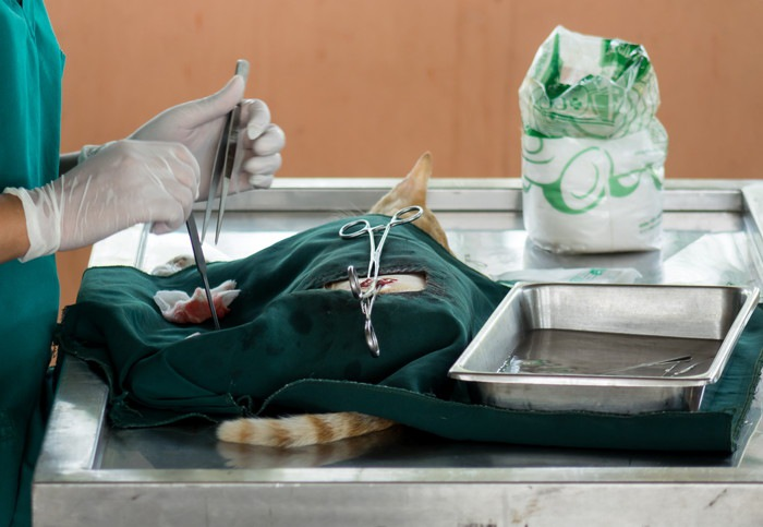 手術される猫