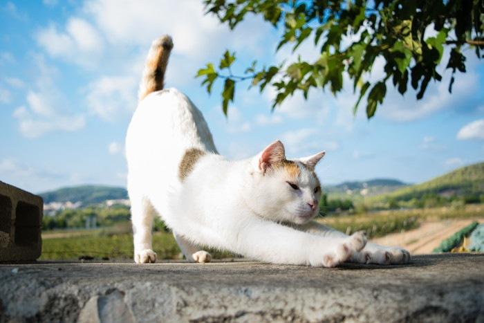 伸びする白い猫