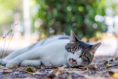 日陰でダレている猫
