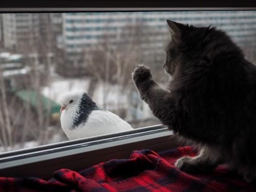 鳩に手を出す猫