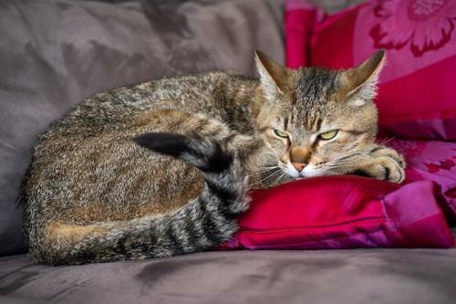 ソファーの上で不満げな顔をしている猫