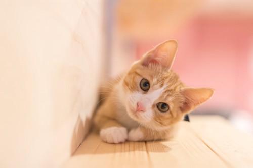 首を傾けて見つめる太らない猫