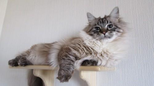 キャットウォークに愛猫が乗っている写真