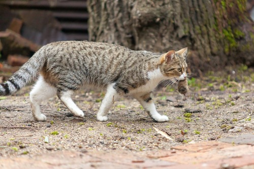 捕らえたネズミを咥えて運ぶ猫