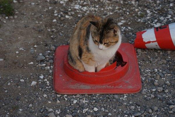 パイロンの輪っかに入る猫