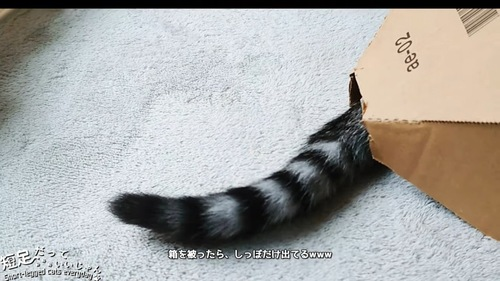 箱から出ている猫のしっぽ