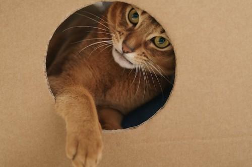 ダンボール箱の穴から前足を出す猫