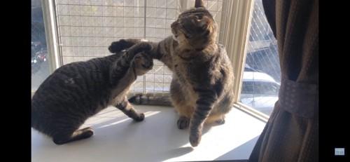 小競り合いをする猫
