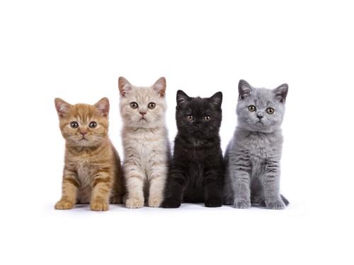 並んで座るブリティッシュショートヘアの子猫たち