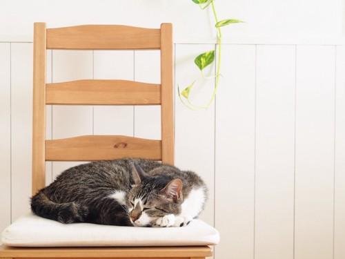 椅子の上で丸まって眠る猫