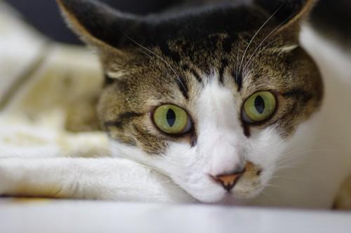 こちらを見つめるイカ耳の猫