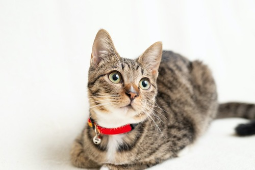 鈴のついた赤い首輪をした猫