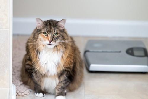 ダイエット中の猫