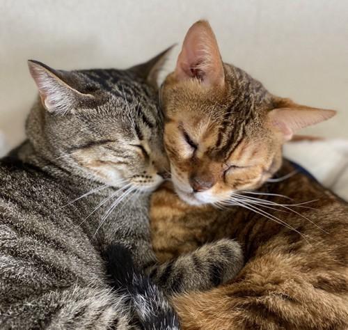 くっついて寝る猫たち