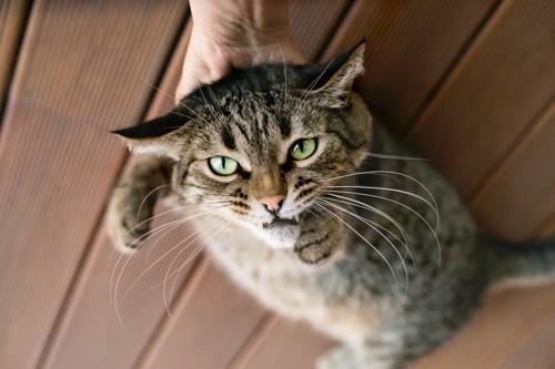 撫でられて嫌がる猫