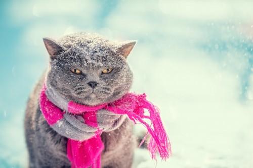 雪の中で寒そうなマフラーをした猫