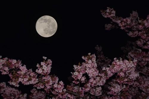 月と満開の桜