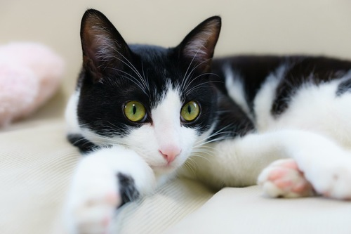 ベッドで寛ぐ白黒の猫