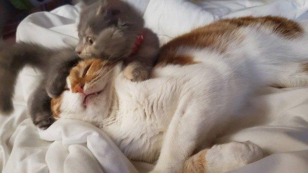 妹猫に昼寝を邪魔される兄猫