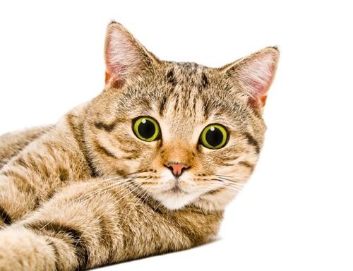 キジトラ猫がびっくり