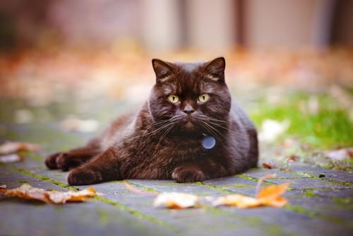外でくつろぐ首輪をつけた猫