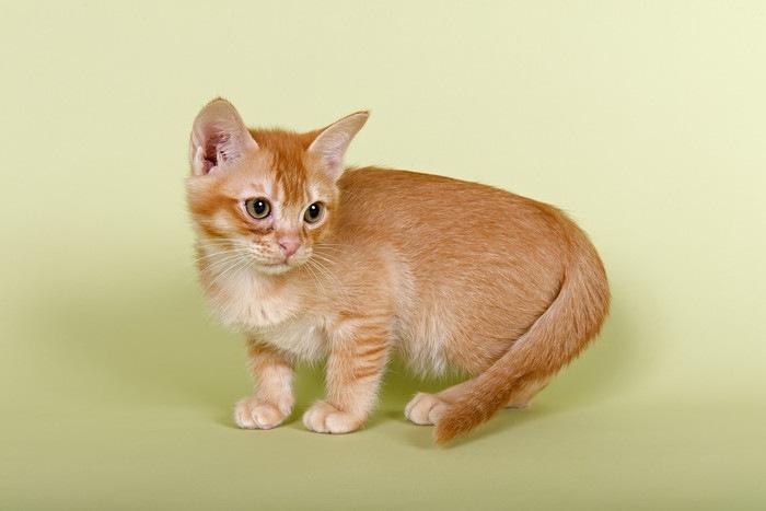 バーミラの子猫