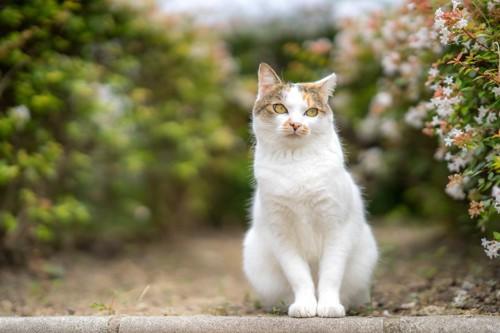 流し眼の三毛猫
