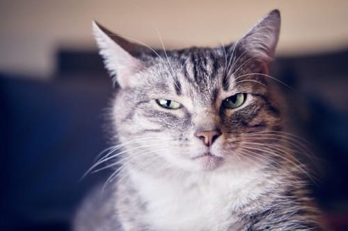目を細めて怒ったような顔の猫