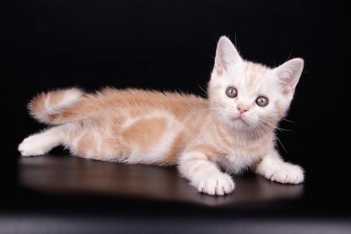 横になって何かを見つめるアメリカンショートヘアの子猫