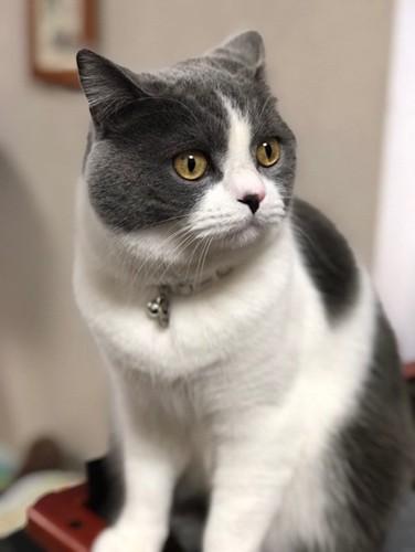 何かを真剣に見つめるハチワレ猫