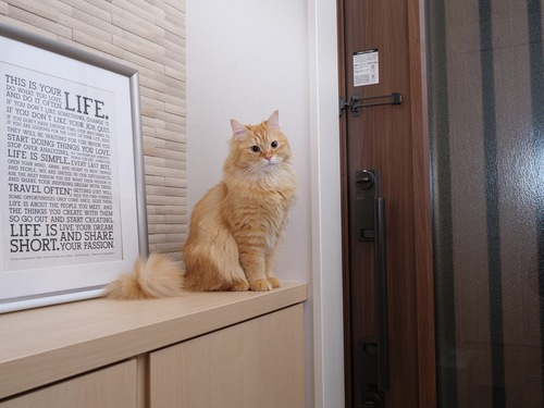 玄関の下駄箱の上に座っている猫