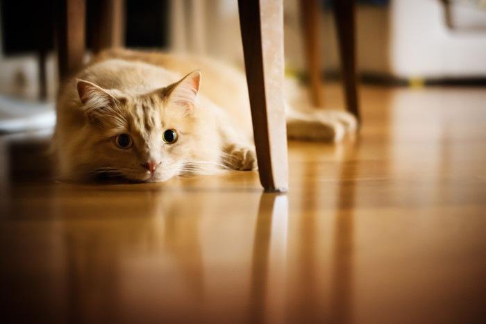 フローリングで伏せている猫