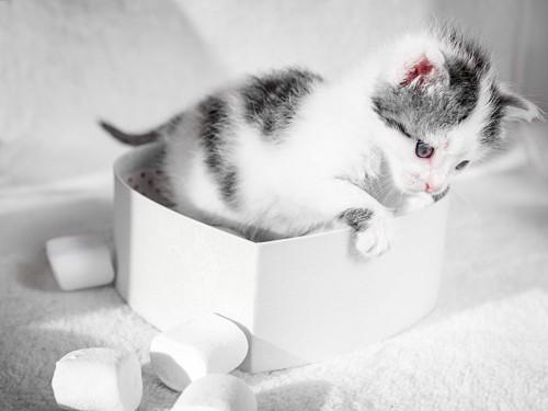 マシュマロの箱の中に入っている子猫