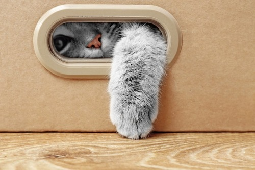 箱の中から手を出す猫