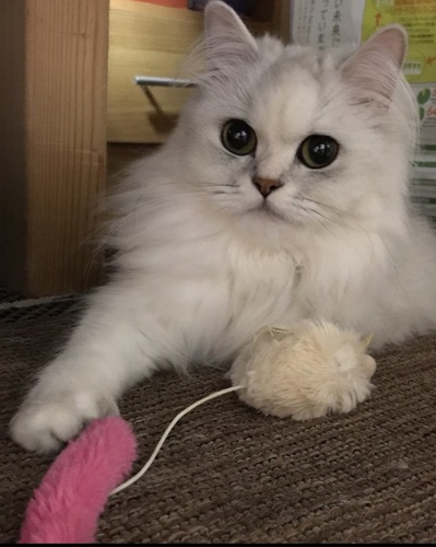 遊んで欲しい猫
