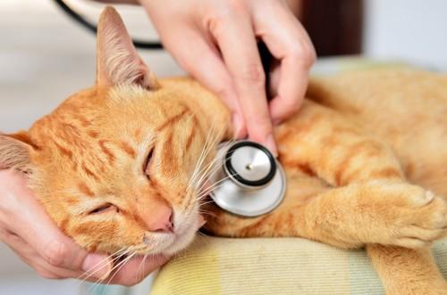 聴診器を当てられる茶トラ猫