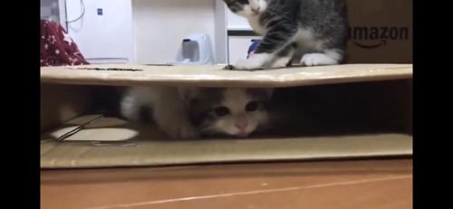 箱で遊ぶおでこちゃんと豆大福くん