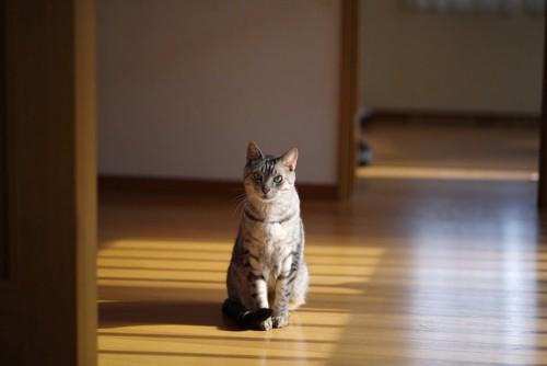 フローリングに座っている猫