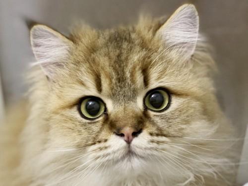 正面から撮影したペルシャ猫