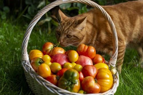 籠のトマトのにおいを嗅ぐ茶トラ