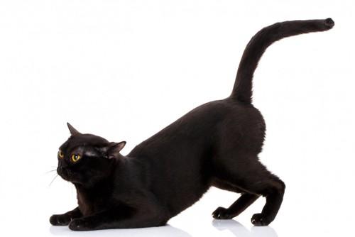 お尻を高くする黒猫