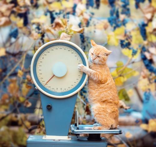 大きな体重計に乗る茶トラ猫