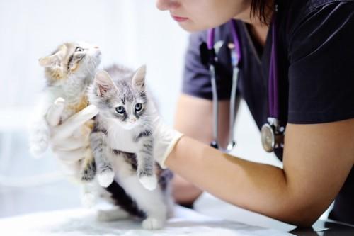 獣医師に診察される二匹の子猫