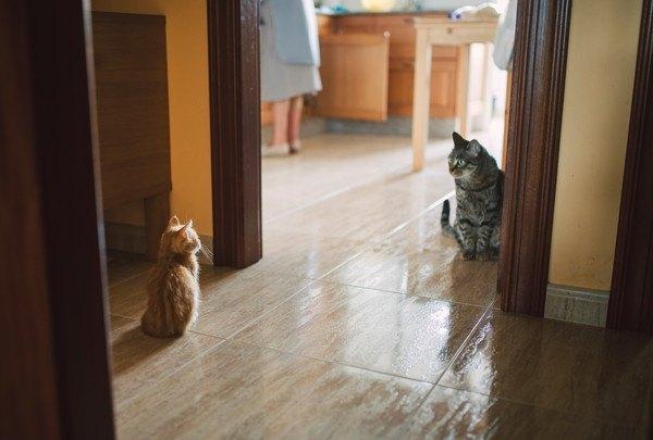 遠くから睨みあう二匹の猫